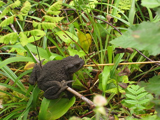 Resting toad