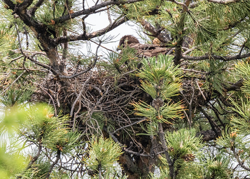 swainson_hawk_on_nest_20190613_104