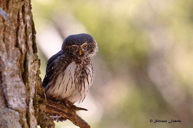 Pygmy owl, curiosetta, piccolina e simpatica!