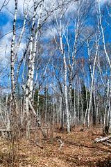 So Many Birches