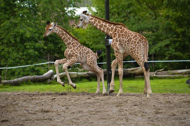 Rothchild's Giraffe Calves (Giraffa camelopardalis rothschildi)