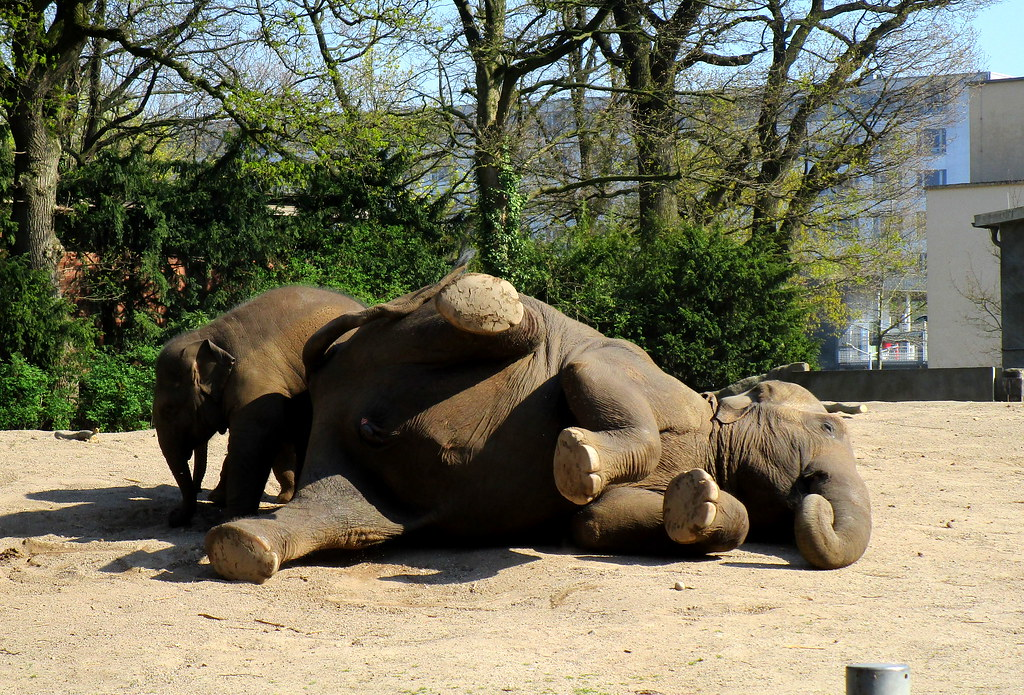 upps! Die Elefantendame hat sich hingelegt! Ob sie will, dass ihr Kind ihr den Rücken schubbert?
