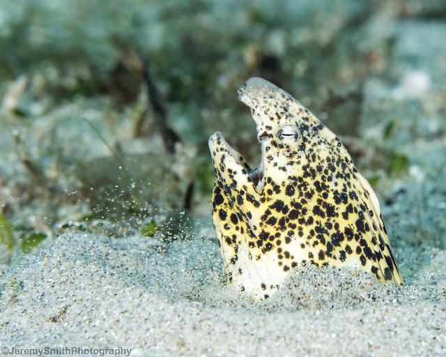 Marbled Snake Eel, Callechelys marmorata, Gangga Island, Sulawesi, Indonesia