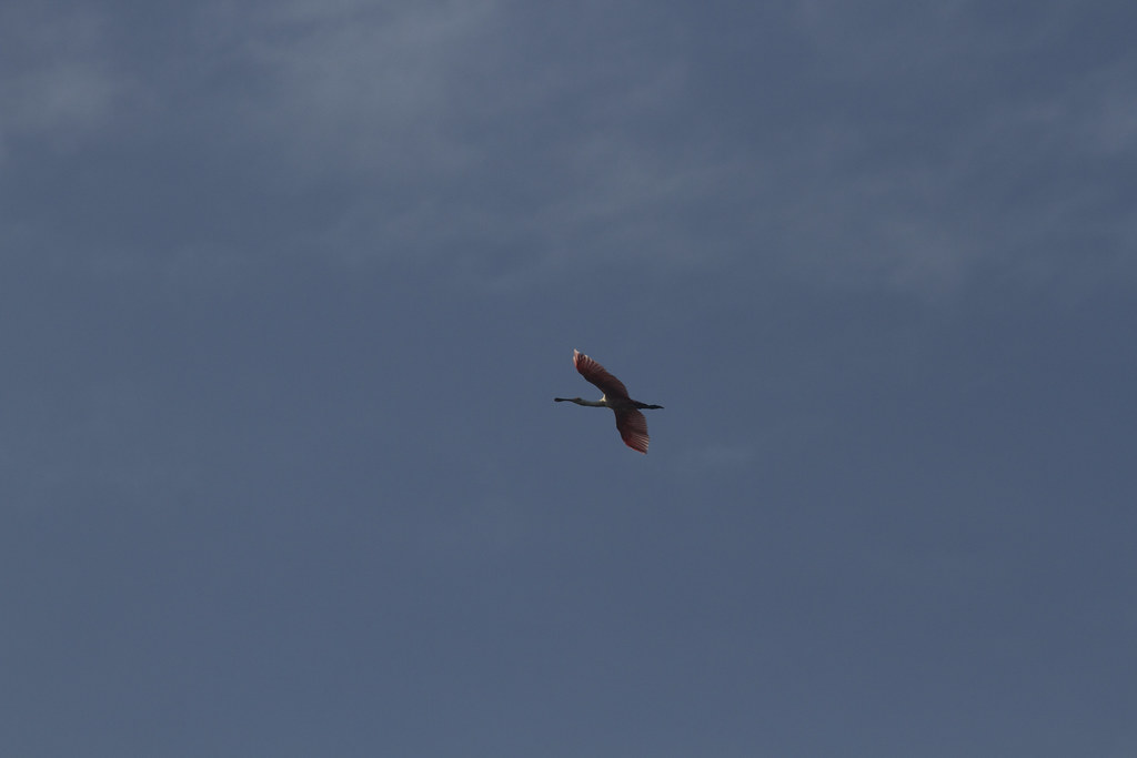 Roseate Spoonbill, Collier Co., OR_5712(1)