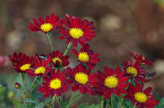 Red and Yellow Flowers | by noelcmn