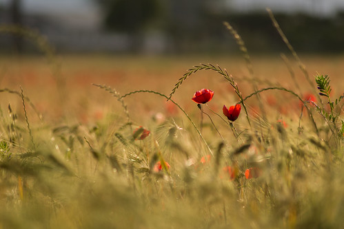 Mohn / Papavero | by Kleene74