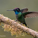 Male Talamanca Hummingbird With Wings Back While On An Epiphyte Covered Branch