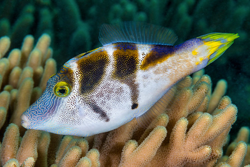 Mimic Filefish, male - Paraluteres prionurus