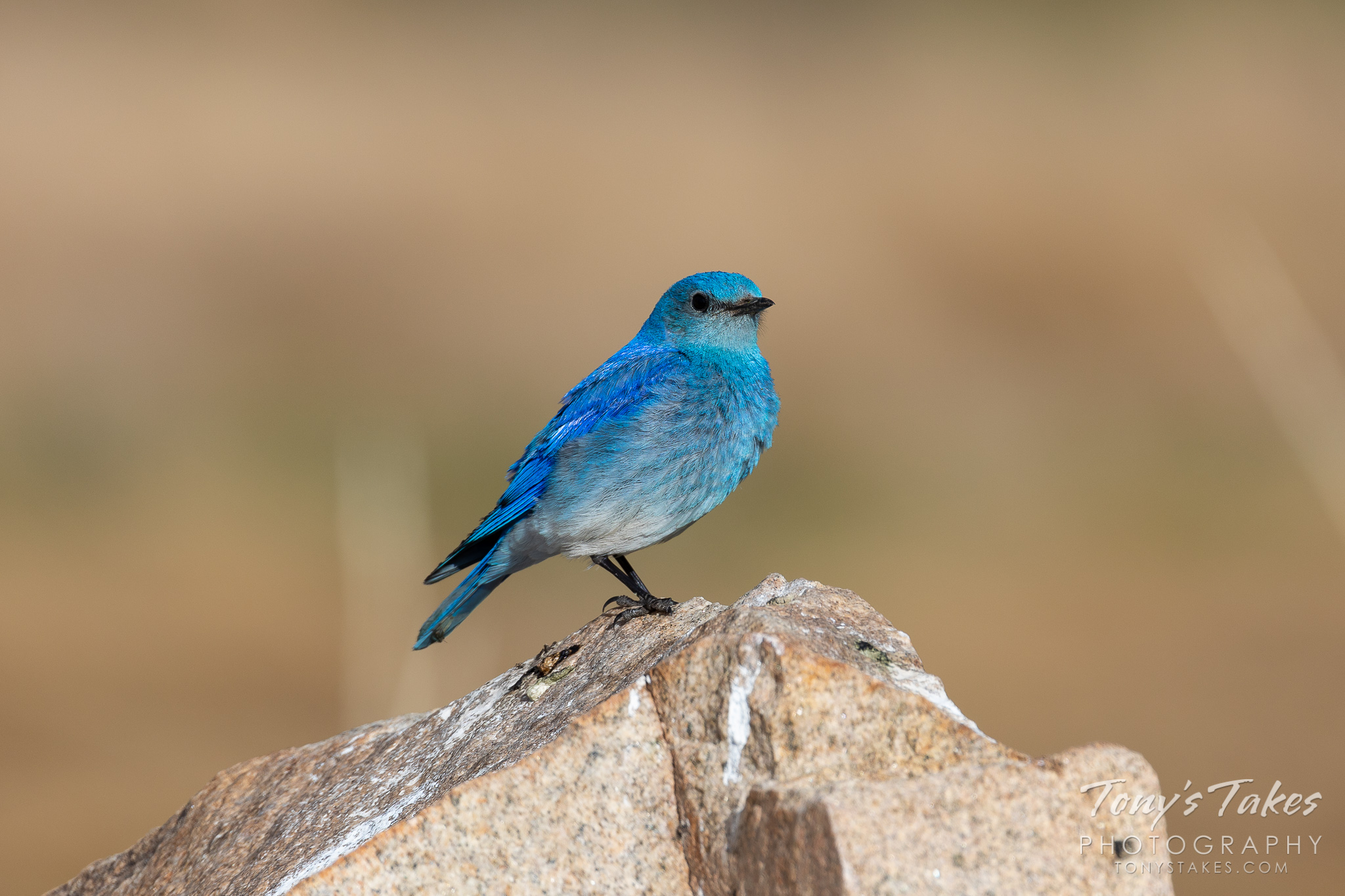 A mountain bluebird poses on a rock at Eleven Mile State Park in Colorado. (© Tony's Takes)