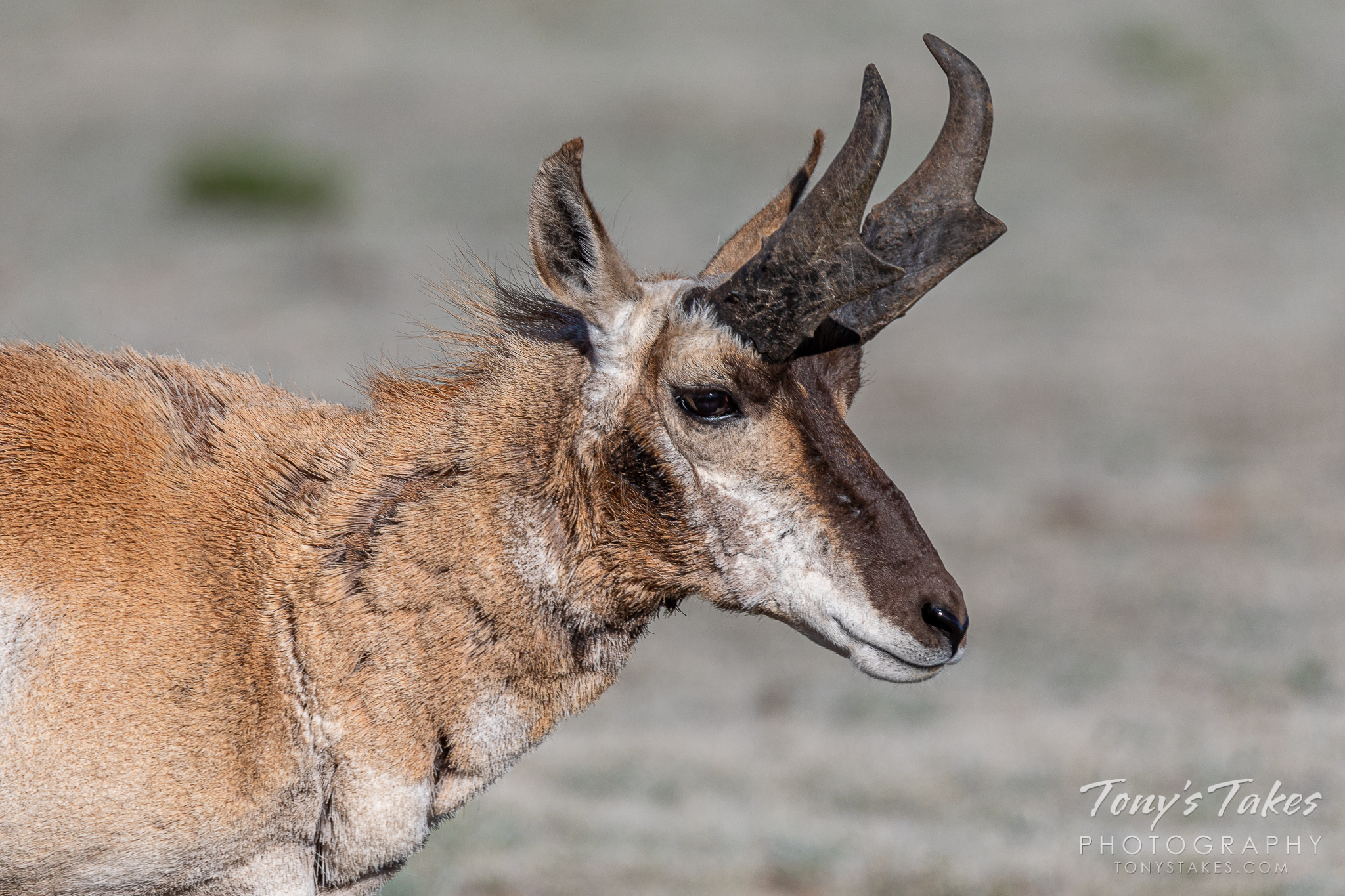 A pronghorn buck gets up close and personal at Eleven Mile State Park in Colorado. (© Tony's Takes)