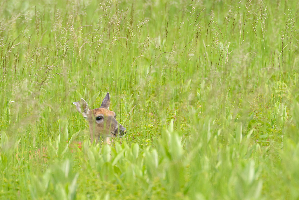 A white-tailed doe beds down in the Big Meadows area of Shenandoah National Park in June 2004