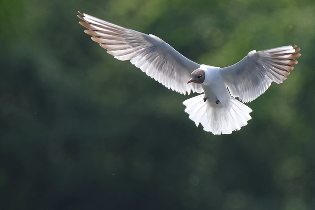 DSC_9005_DxO_pn - Mouette rieuse - Chroicocephalus ridibundus - Black-headed Gull