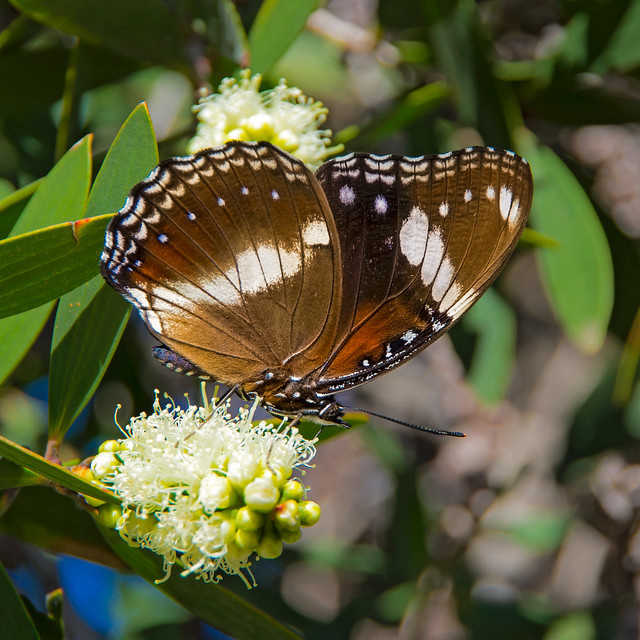 Common Crow Butterfly.