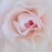 Pale Camellia (I), 2.7.18