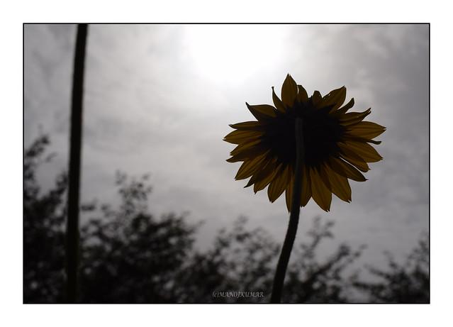Sunflower at Sunrise