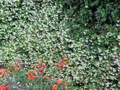 ALAIOR. MENORCA. El jardín. El jardín pared.1