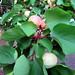 ALAIOR. MENORCA. El jardín.Año de albaricoques maravillosos. 5