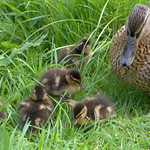 Small duck family