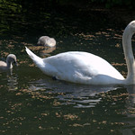 Small swan family