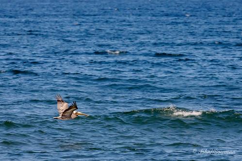 birds animals atlanticocean canon1004004556l2 pelicans northcarolina nagshead oceans outerbanks smallanimals may 2019 darecounty may2019