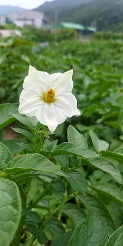 마당밭 꽃풍경 감자꽃