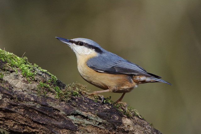 K32P1601c Nuthatch, Lackford Lakes, March 2019