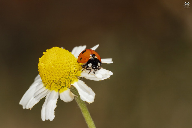 Joaninha, Ladybird (Coccienella septempuntat)