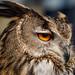 "<p><a href=""https://www.flickr.com/people/aubien/"">A U Bien</a> posted a photo:</p>  <p><a href=""https://www.flickr.com/photos/aubien/48059906146/"" title=""Eurasian Eagle Owl""><img src=""https://live.staticflickr.com/65535/48059906146_f074bb84ca_m.jpg"" width=""240"" height=""192"" alt=""Eurasian Eagle Owl"" /></a></p>  <p>Midlands Bird of Prey Rescue stand, Stratford-upon-Avon market, 2019<br /> <br /> <a href=""https://mbprescue.org.uk/"" rel=""noreferrer nofollow"">mbprescue.org.uk/</a></p>"