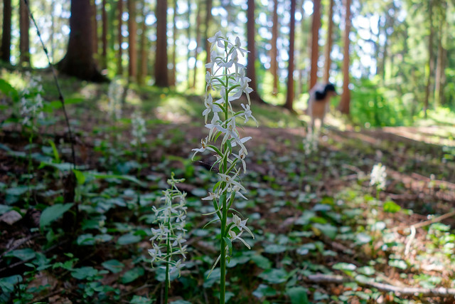 FOREST HYACINTHS . Platanthera bifolia