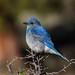 IMG_3826 male mountain bluebird