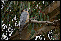 Australian Hobby: Shopping is So Boring!