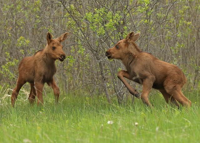 A pair of Moose calves...#12