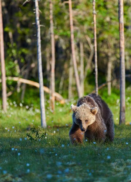European brown bear (Ursus arctos) walking on a swamp in the evening light