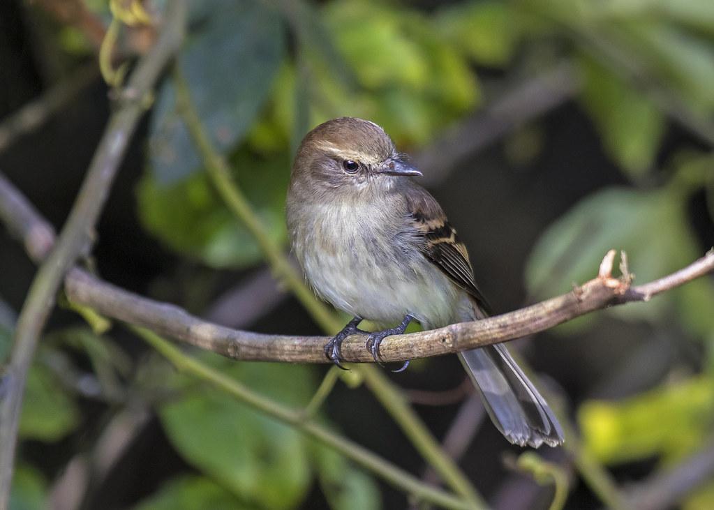 guaracavuçu (Cnemotriccus fuscatus) (Wied, 1831) Nome em Inglês Fuscous Flycatcher