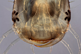 Dytiscidae larva