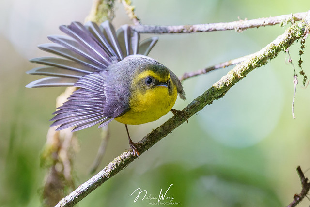 Yellow-bellied Fantail (Chelidorhynx hypoxanthus) 黃腹扇尾鶲