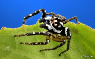 Jumping Spider, Freya decorata, Salticidae