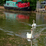 Two swans on the canal at Preston