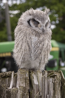 Young Owl | by Paul R Bednall