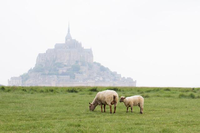 Moutons de pré salé