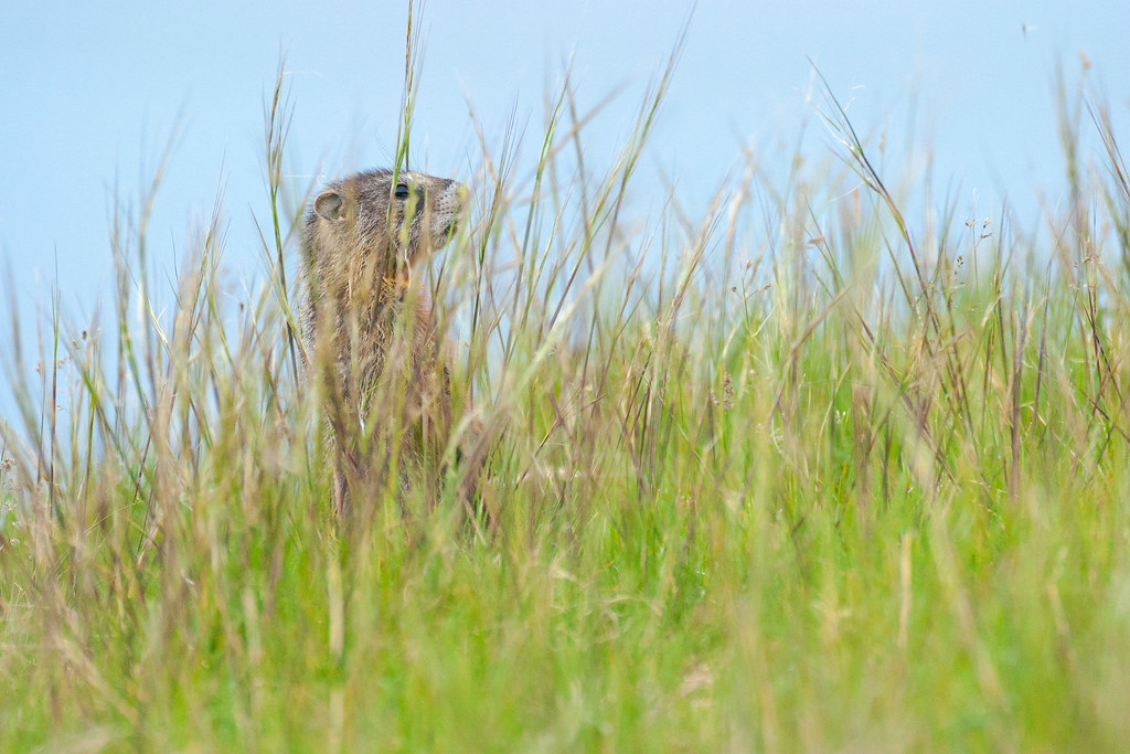 A yellow-bellied marmot stands near Lake Yellowstone, mostly obscured by the tall grasses of a meadow on the Storm Point Trail, taken in July 2004 in Yellowstone National Park in Wyoming