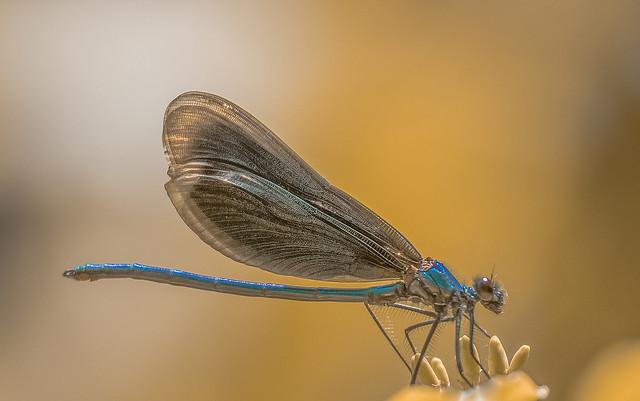 Kisasszony-szitakötő (Calopteryx virgo)