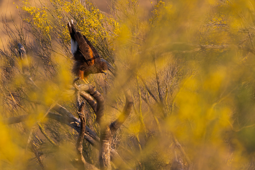 A Harris's hawk stretches while perching on a dead tree, surrounded by palo verde blossoms fore and aft, near the Chuckwagon Trail in McDowell Sonoran Preserve in Scottsdale, Arizona in June 2019