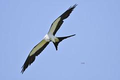 Swallow-tailed Kite(Elanoides forticatus)