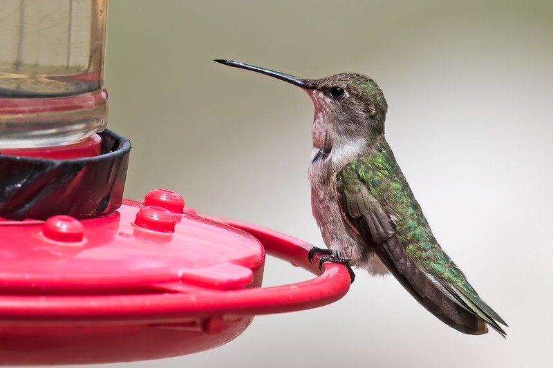 Black-chinned-Hummer-9-7D2-060519
