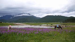 Prati dello Yunnan di Primula malacoides