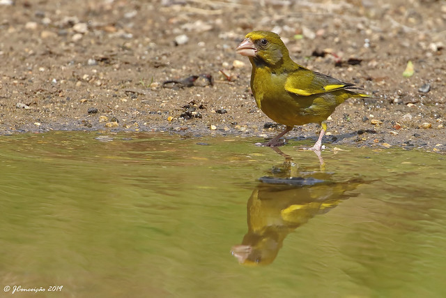 Verdilhão - Carduelis chloris - Greenfinch