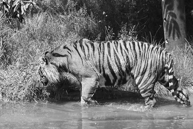 Hari, Sumatran Tiger (Panthera Tigris Sumatrae), Tiger Territory, London Zoo, Regents Park, City of Westminster and Borough of Camden, London