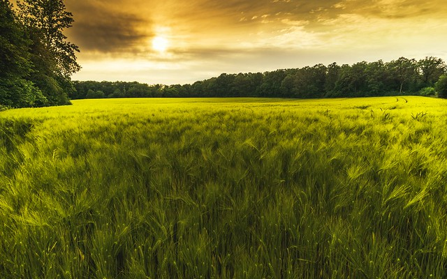 The cornfield in the evening