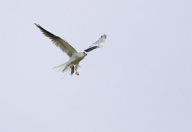 White-tailed kite flying with prey in its talons